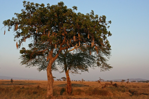 sausage tree in africa